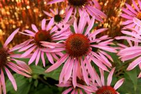 gallery/img-photos-sante_echinacea