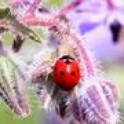 gallery/img-mini-Animaux_Coccinelle_Bourrache